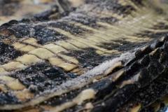 La Patrie - Una fase della lavorazione delle pelli